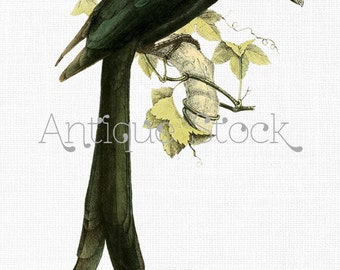 Black Bird Image 'Mayotte Drongo' Bird on a Branch Vintage Illustration Instant Download for Print, Scrapbook, Graphic Design, DIY Crafts...
