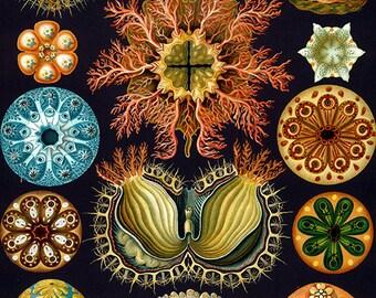 Nature art image download, Ernst Haeckel, vintage illustration, high resolution -- item no 83