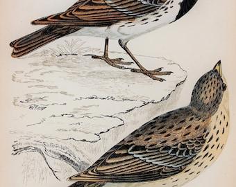 Lapland Bunting. Original 1800s Antique Bird Print by Reverend F. O. Morris