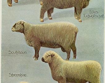 "Matted Antique Sheep & Ram Print C. 1900 Lambs Wool Farm 11x14"""