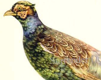 Japanese Pheasant Phasianus Versicolor Bird Ornithology Natural History Lithograph Print 1960s Illustration To Frame 32