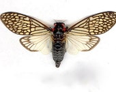 Unmounted Lace Cicada, Tailainga binghami, spread and ready for your project