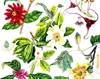 Spice Bush, Wild Ginger, Polecat tree, Tulip Tree - Botanical Print - 1988 Vintage Flower Print