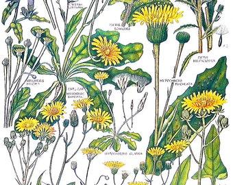 Lapsana communis, Hypochoeris glabra, Crepis fuetida - 1965 British Flowers Vintage Book Plate P51