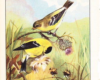 1926 Bird Print - Goldfinch - Vintage Antique Natural History Home Decor Art Illustration for Framing