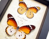 Real Framed Butterflies Asian African Monarch Set Ancient Egyptian Butterfly 8169