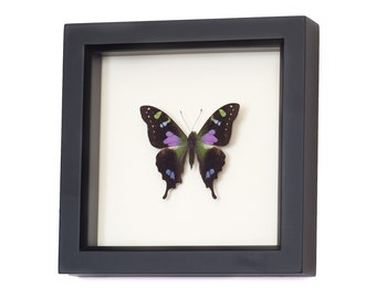 Real Framed Butterfly Shadowbox Display