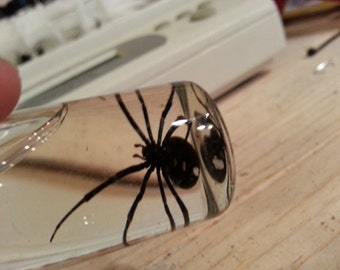 Wet Preserved Black Widow Spider Specimen- Jarred Specimen- 1 specimen