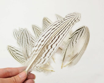 12pcs Silver Pheasant Tail Feathers, select grade, zebra, stripes, exotic feathers. Magnificent 5-6 inches tall!