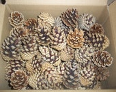 "50 Count Pine Cones From 2"" up to 3"""