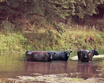 Cows in the river photography-animal cow photography-stream-river photo-cow photo (5 x 7 Original fine art photography prints) FREE Shipping