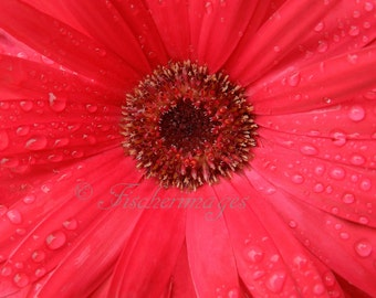 Flower Macro Red Gerber Daisy with Raindrops Wall Art Home Decor Photo Print Fine Art Photography