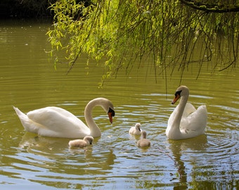 Swan Family  (multiple sizes available)