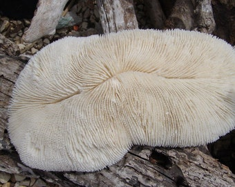 Vintage Bone White Slipper Sea Corals Beautiful Long Slender Variety Mushroom Ivory Authentic Real Coral Fossil Collectible Aquarium Feature