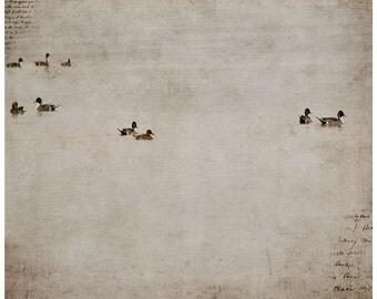 Animal photography, Northern pintails, ducks, textures, fine art print