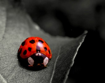 Ladybug Insect Photography Red,black and white,Art,Gifts under 25,critter,red with black spots,lady bug,lady beetle,selective color,spotted