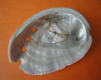 """Sea Shell Seashells 3"""" Red Abalone Shell"""