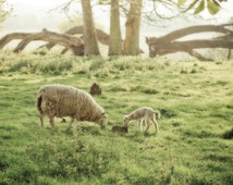 "Easter gift, Nature photography, sheep photography,"" A Very British Morning"""