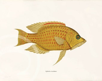 Antique Fish Art Print - 5 x 7 - Epibulus insidiator
