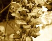 Wisteria in Sepia - Flowers in Virginia