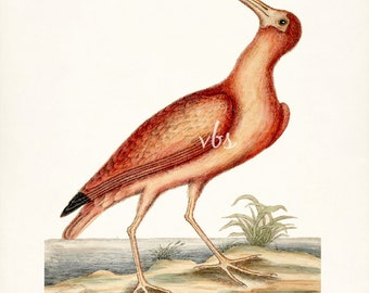 Coastal Decor Sea Bird Natural History Wall Decor Art Print - Red Curlew 8x10
