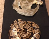 Ball Python, Snake Skin, Full Shed, Cruelty Free, Natural, Jewelry Making, Art Supply, 4 Feet