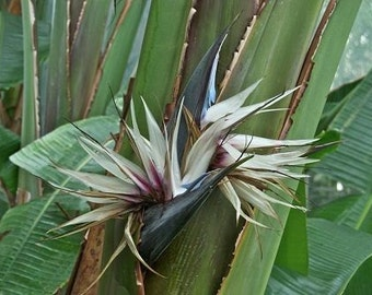 7 Giant Bird of Paradise Seeds-1109A