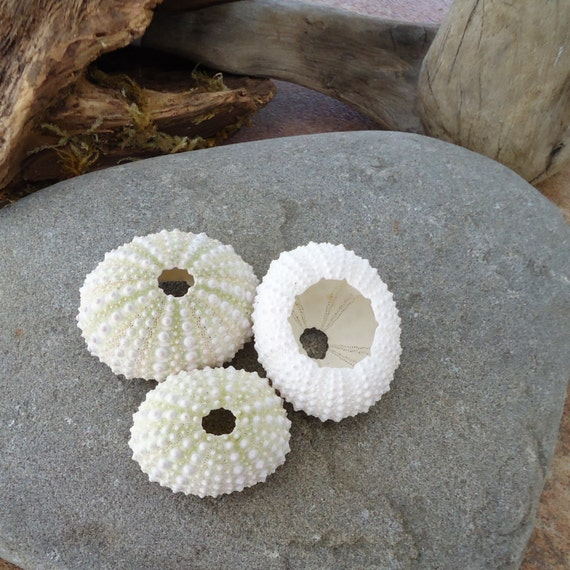 White sea urchin shell - photo#12