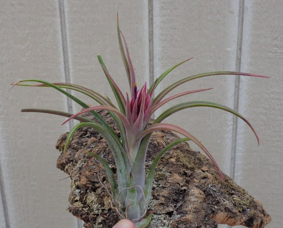 Large tillandsia paucifolia red hybrid by ctsairplants on etsy Tillandsia hybrids