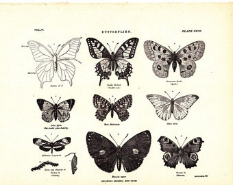 Five pages of 'Butterfies and Moths' from a 1904 encyclopedia