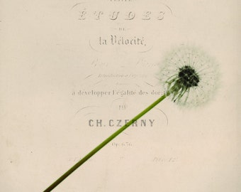 dandelion, typography, vintage, floral, dreamy, fine art photography