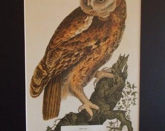 Barn Owl - Tyto Alba - Vintage Art - 50% OFF
