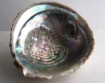 Natural Green and Pink Iridescent Abalone Shell
