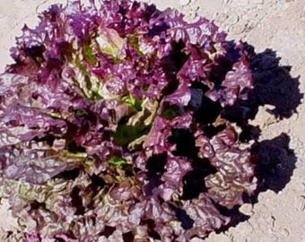 Ruby Red Heirloom Leaf Lettuce Seeds Non GMO