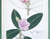 FLOWER Plate #9693 from Curtis's Botanical Magazine by Lilian Snelling - 1930s