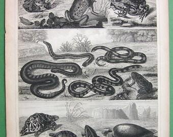 AMPHIBIA Green Toad Frog Java Snake Blind Scink Turtle Tortoise - SUPERB 1844 Vintage Antique Print