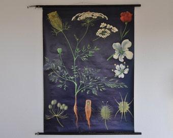 Original Mid Century Botany Print. Wild carrot (Daucus carota). Pull Down School Chart. Jung Koch Quentell. Germany.
