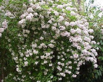 50 Beauty Bush Seeds, Kolkwitzia amabilis
