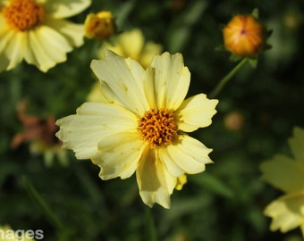 Yellow Flower Photo 5 X 7