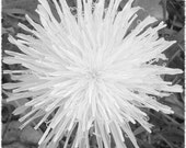 original, black and white, close-up dandelion, 'not a weed' print