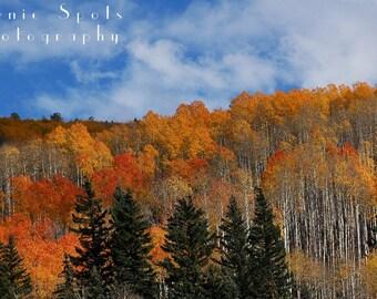 Pines, Aspens and Blue Sky near Telluride, Colorado - Fine Art Photograph 8 x 10 Print
