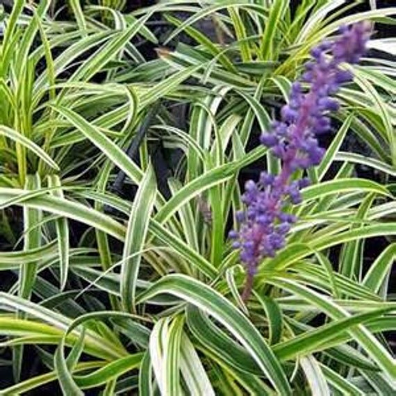 Variegated Lily Fairy Plant Silvery Sunproof Lilyturf