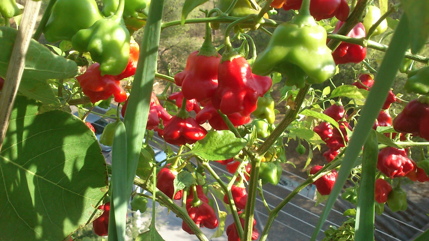 how to grow scorpion peppers