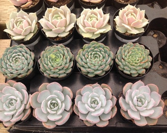 Succulent plant listing is 40 small size succlents.  We will select a beautiful assortment of succulents for you use or share.