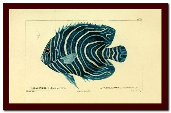 Print Vintage Fish Natural History  Art Print:  Scientific Illustration Art Print