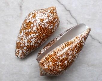 """Cloth of Gold Cone Seashell (3"""") - Conus Textile"""