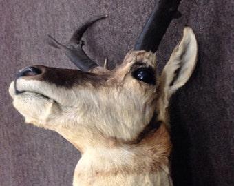Pronghorn taxidermy shoulder mount
