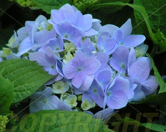 Blue Hydrangea Note Card.  All occasion, blank inside.