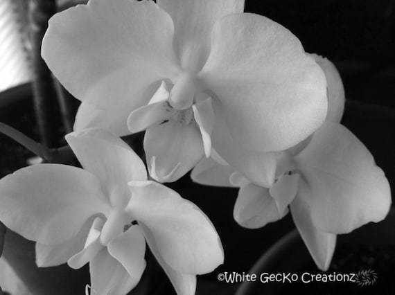 Orchids Black and White