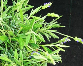 Goodwin Creek Lavender live herb plant